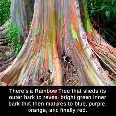 Eucalyptus Deglupta or Rainbow Eucalyptus sheds its outer bark to reveal its various colorful barks. It is native to the Philippines, Indonesia and Papua New Guinea. Random Science Facts, Wtf Fun Facts, Random Facts, The Moon Tarot, Unique Trees, Call Art, Tree Forest, Bright Green, Beautiful World
