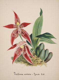 Paphinia cristata. Collection d'orchidées [art original]: aquarelles originales [S.l. :s.n.,18--?] Biodiversitylibrary. Biodivlibrary. BHL. Biodiversity Heritage Library