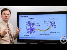 Neurons (6:44) WATCH FIRST SOUND OVERVIEW OTHER VIDEO FOR THOSE WHO WANT MORE DETAIL (THAN REQUIRED)