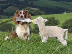 """Springer spaniel sheepdog Jess feeds a lamb using a bottle held in her mouth, Devon, Britain - 18 Sep 2012"""