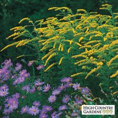 Yellow Solidago rugosa Fireworks, Solidago rugosa Fireworks, Fireworks Goldenrod/  Bloom time Late Summer - Fall.  3' x 2""