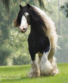 Gypsy Vanner Horse stallion - by Mark J. Barrett