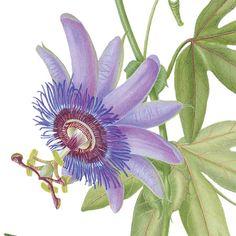 Passiflora print by Cambridge based botanical illustrator Georita Harriott, 2005.