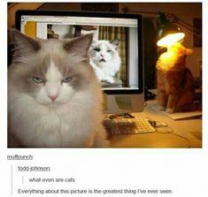 Classic cat
