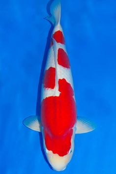 kohaku Koi Fish Pond, Koi Carp, Kohaku, Japanese Koi, Fish Farming, Beautiful Fish, Aquaponics, Goldfish, Pond Ideas