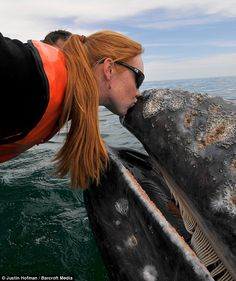 An extremely lucky tourist had a very up close and personal encounter with a gray whale in Mexico. The gray whale - and its curious calf - stunned their guests by drifting in for hugs and kisses. Orcas, Beautiful Creatures, Animals Beautiful, Beautiful Ocean, Animals And Pets, Cute Animals, Strange Animals, Save The Whales, Gray Whale