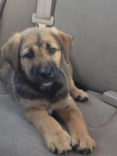 Trip a Labrador Retriever/German Shepherd Puppy