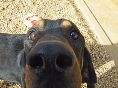 Looking down the barrel of a black and tan coonhound nose.