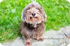 Pittsburgh, PA - Havanese Mix. Meet Sela, a dog for adoption. http://www.adoptapet.com/pet/16670277-pittsburgh-pennsylvania-havanese-mix