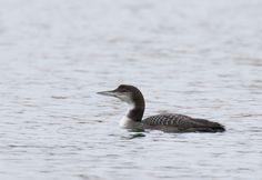 Great Northern Diver. Whitwell, Rutland Water. 11th January 2016.