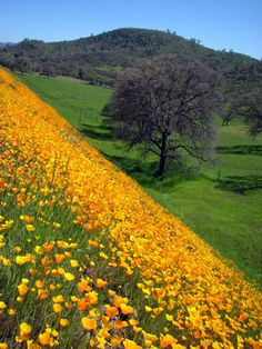 Scenic hillside in El Dorado County. Our rolling foothills are spotted with gorgeous flowers and meadows. California Camping, Hotel California, California Poppy, Northern California, El Dorado County, Grass Valley, Nevada City, World Cities, Sierra Nevada