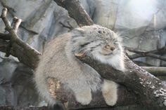 Nothing to see here, just a Pallas Cat relaxing in a tree. Move along...move along. - 9GAG