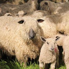 a few Wensleydale lambs