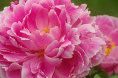 Peony flower print by Suzanne Powers, starting at $22.00