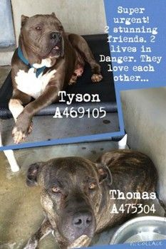 Gentle and bonded pit bulls to die at shelter after owner sent to jail--please save them!!!! :'(
