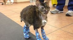 Watch Watch Hugh Jackman the Cat Walk Again After Recovering From Severe Burns from NBC TODAY Show. The 6-month-old cat was named after the 'Wolverine' star for his superhuman healing ability. Hugh had burns over 40 percent of his body when he was found on a Brooklyn street.