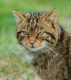 Scottish Wildcats are awesome. They look almost exactly like cats but with a more intense resting face. | Why We Need To Save The Scottish Wildcats