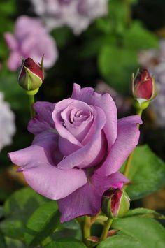 濃いライラック色の華やかな大輪花 甘くすっきりとした香り コンパクトに育ちブルー系としては丈夫で育てやすい  シャルルドゥゴール Charles de Gaulle http://item.rakuten.co.jp/baranoie/c/0000002357/