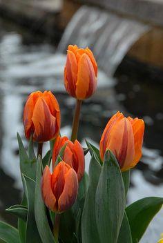 (via Tulips by Joyce StJames)