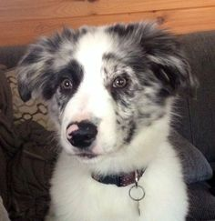 Blue merle border collie puppy with pink spot nose