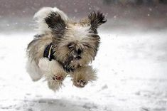 adorable little dog running through the snow <3