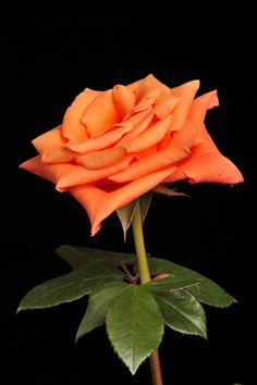 My mother always gave me peace colored roses when I was young....I love peach colored roses...Thanks Mom