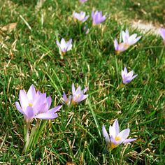 Crocus Plant crocuses in masses under trees and shrubs or in lawns for a dramatic early spring start in your garden. They thrive in any well-drained soil in full to partial sun. -perennial bulb -Part Sun, Sun -Height:Under 6 inches to 3 ft,Width:1-3 inches wide -Flower Color:Blue, Pink, Red, White -Foliage Color:Chartreuse/Gold -Spring Bloom -Deer Resistant -Zones:3-8