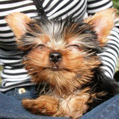 I  Yorkies. One of our best choices to date was bringing her home