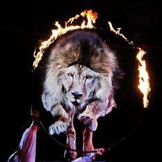 Un león salta a través de un anillo ardiente durante una actuación en el Circo #Nacional de Ucrania en Kiev. Foto: AP