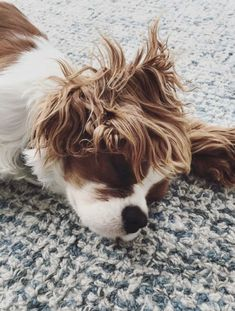 What's more adorable than a sulking Cavalier King Charles Spaniel! Animals And Pets, Baby Animals, Funny Animals, Cute Animals, Cute Puppies, Cute Dogs, Dogs And Puppies, Doggies, Spaniel Puppies
