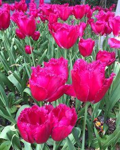 Central park Pink Tulips, Love Flowers, Central Park, Floral Design, Happiness, Photo And Video, Instagram, Bonheur, Floral Patterns