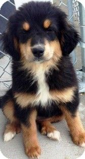 ***6/15/14 LISTED ON ADOPT-A-PET***Oswego, IL - Bernese Mountain Dog/German Shepherd Dog Mix. Meet Peeka