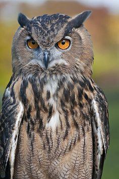 Serious Owl by Chris S Thorpe, via Flickr