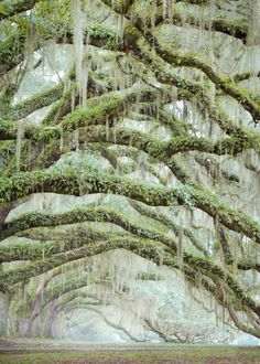 Resurrection Fern and Spanish Moss Living on Oak Limbs, near Charleston, SC © Doug Hickok All Rights Reserved More here… hue and eye