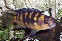 Cichlid - Wikipedia, the free encyclopedia