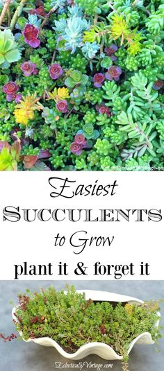 Easiest Succulents t