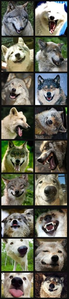 The many expressions of lobos! Wolf Love, Bad Wolf, Animals And Pets, Funny Animals, Cute Animals, Wolf Spirit, Spirit Animal, Wolf Pictures, Animal Pictures