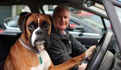 За рулем: 5 признаков того, что Вы рискуете жизнью своей собаки.