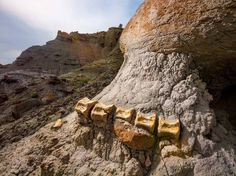 A segment of a duck-billed dinosaur's tail, embedded in sandstone, found on the Kaiparowits Plateau in Utah.