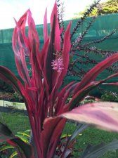 Social group dedicated to growing all species of cordyline. Monthly meetings, information, growing tips and publications. Ti Plant, Garden, Plants, Lawn And Garden, Gardens, Plant, Outdoor, Home Landscaping, Tuin
