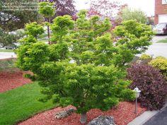 Japanese Maple Shishigashira (iAcer palmatum/i)