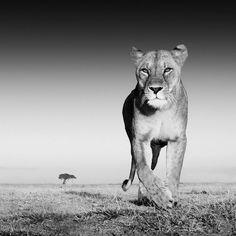 Superbe cliché au cœur de la savane  © David Yarrow Photography Ltd. www.trueafrica.fr