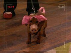 wiener dog piglet | File:Robyn's Weiner-Dog-Pig.JPG