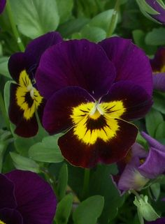 Violas- johnny jump-ups - dark purple-