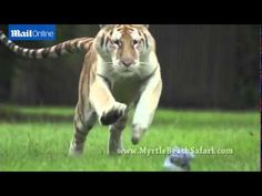 Breathtaking rare footage of tigers running at full speed