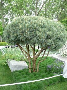 Bergtall kan bli så här snygg när den stammas upp och formklipps. Undertill små kuddar av Björngräs. Ulf Nordfjells vinnarträdgård Chelsea Flowershow 2009.