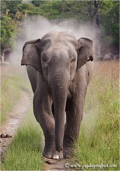 indian elephant - Google Search