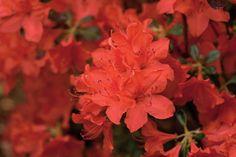 'Sherwood Red' Kurume Hybrid - Choose Your Favorite Azalea - Southernliving. Early- to midseason bloom