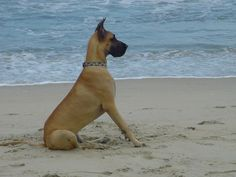 I can just see 1 of these big guys in my future backyard...  great dane♥
