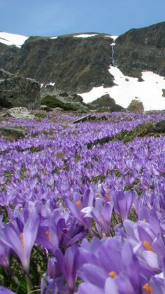 Crocuses In Spring, Bulgaria